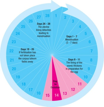 Ovulation Cycle Risk of Pregnancy