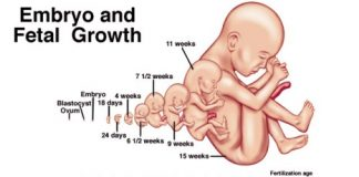 Embryonic Development Stages